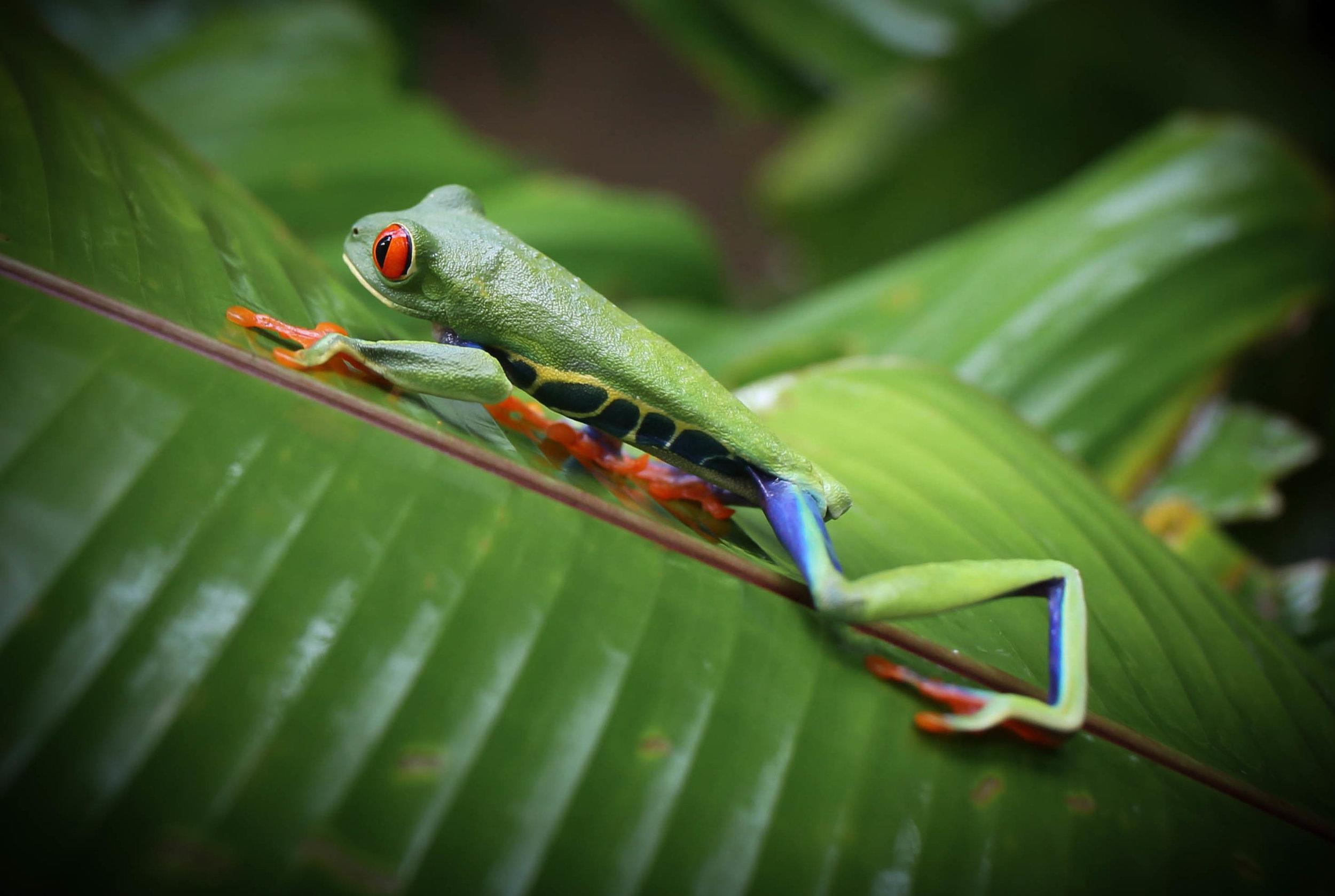 4-Red-eyed Leaf Frog.jpg
