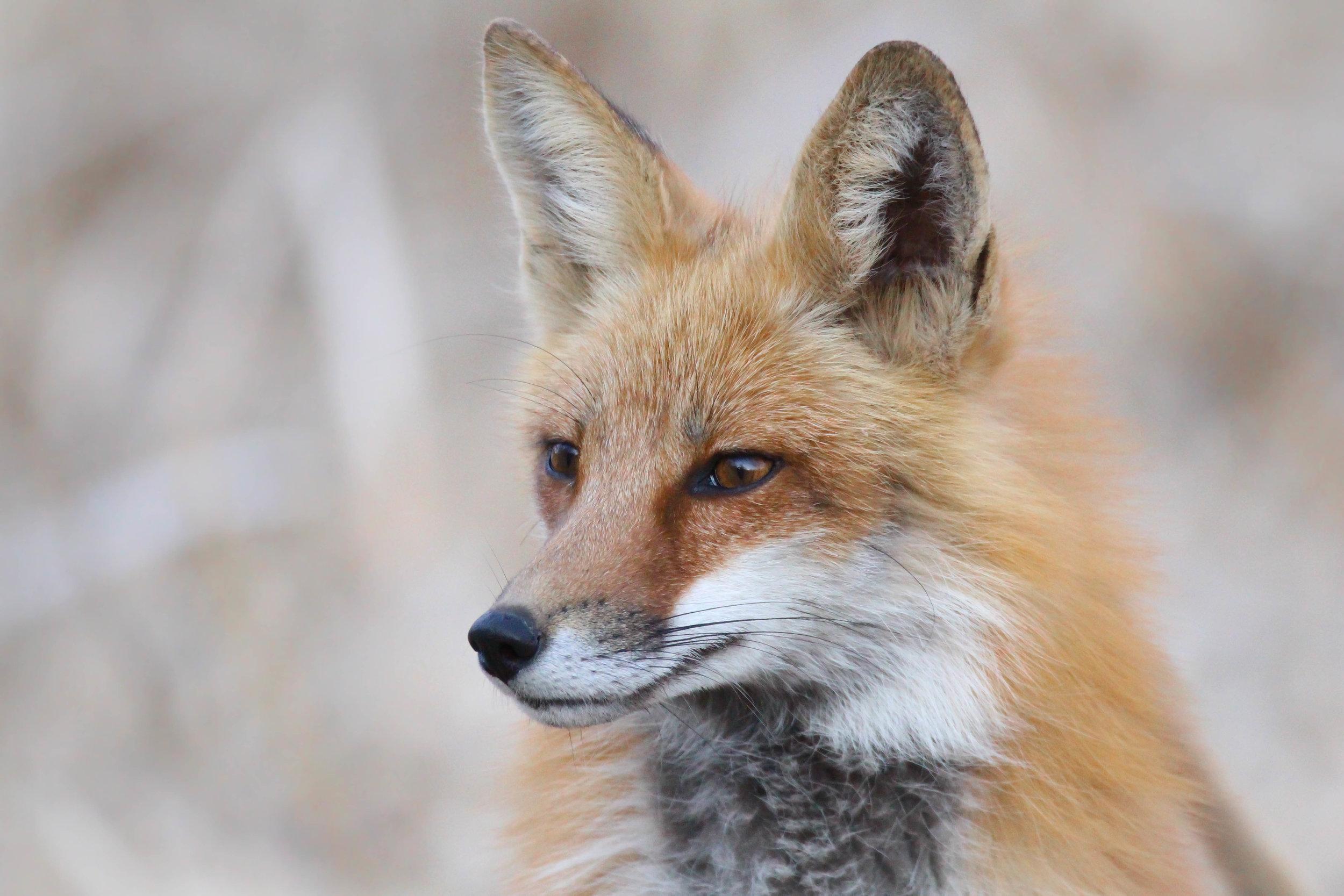 5-Red Fox.jpg
