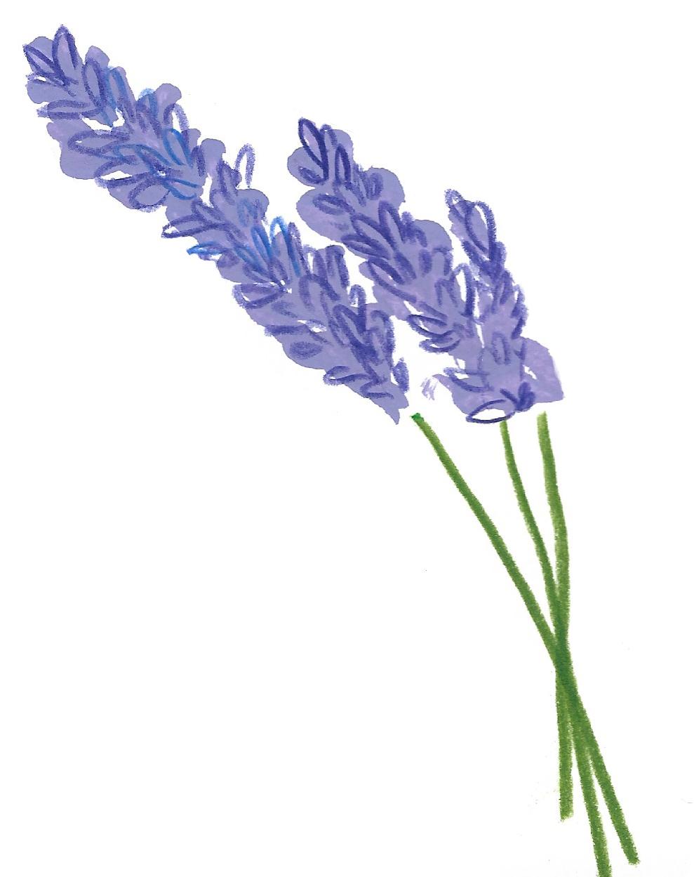 Botanical lavender packaging illustrations for Chain Bridge Honey Farm.