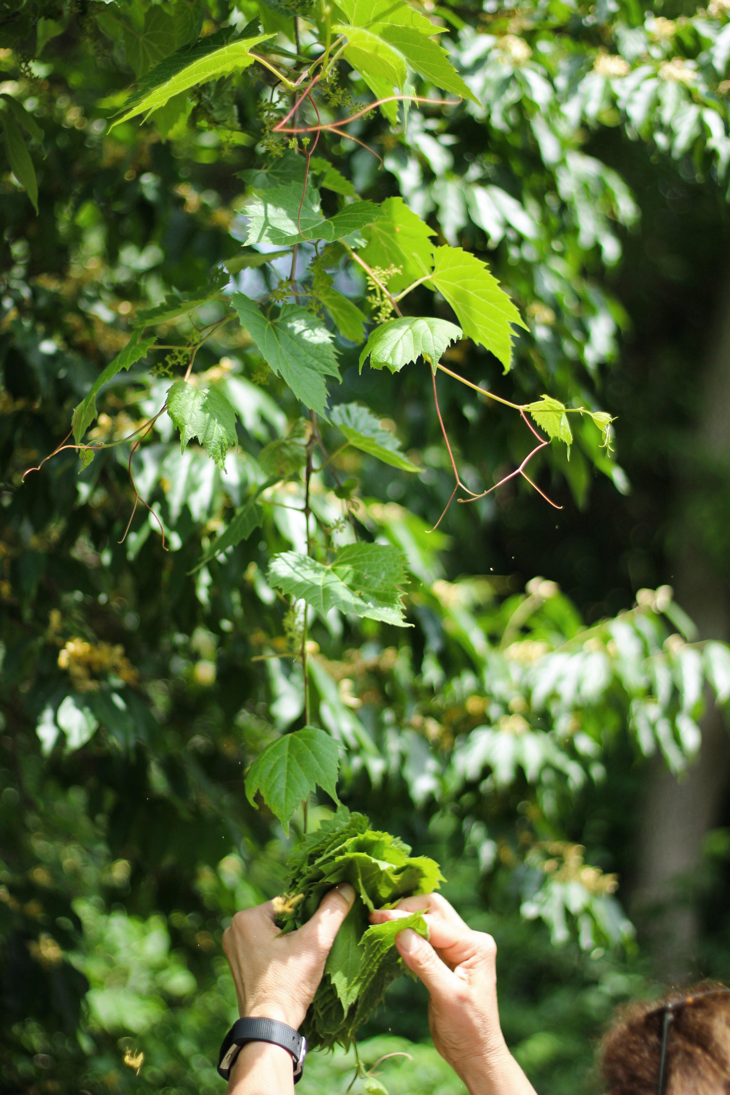 upper grape leaves
