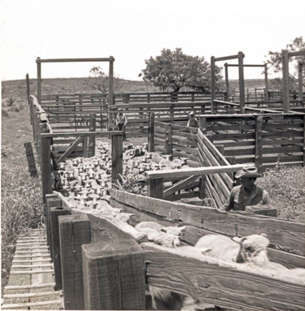 Although the cowboy remains a constant icon of the west, for several decades Pecos County and much of West Texas had more sheep than cattle.