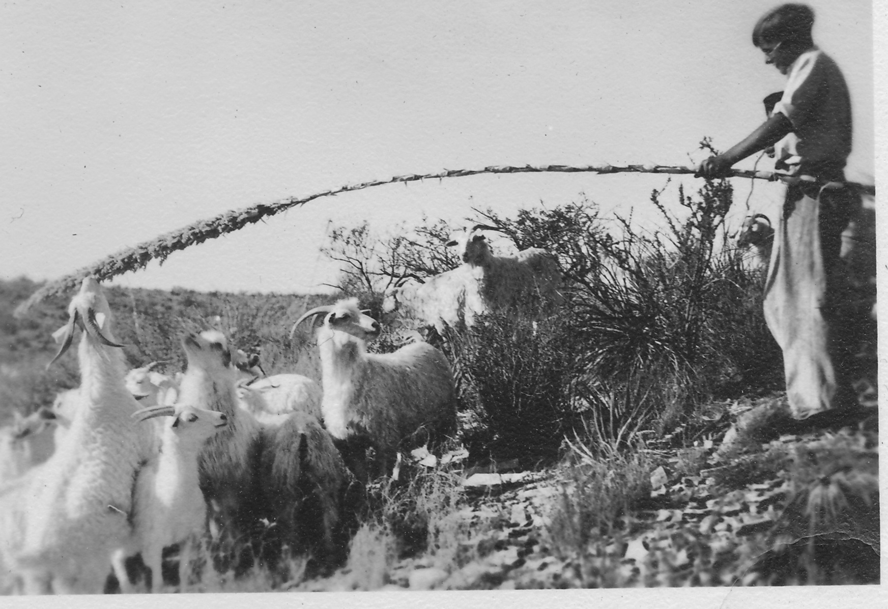 Feeding sotol to goats during the drought of the 1930s.