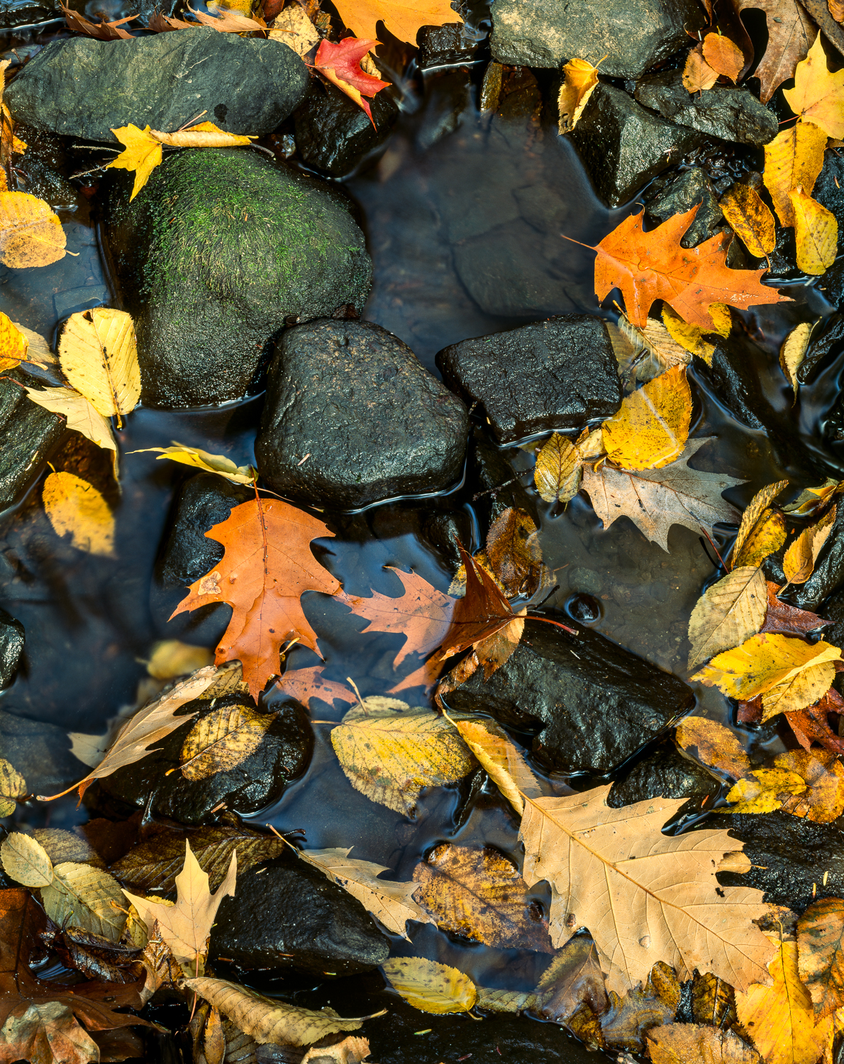 Norther Red Oak and Birch Leaves