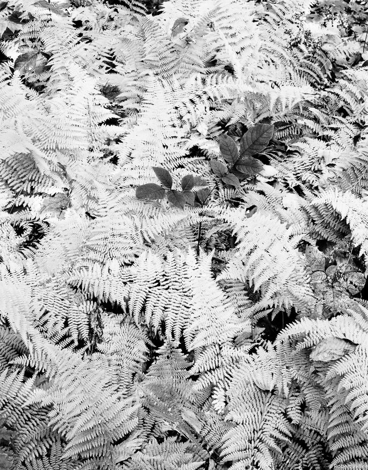 Ferns Autumn