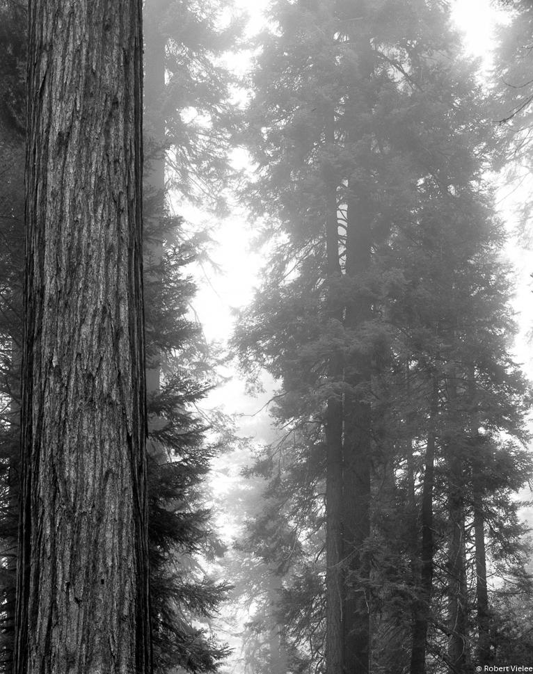 Redwoods, Misty Dawn