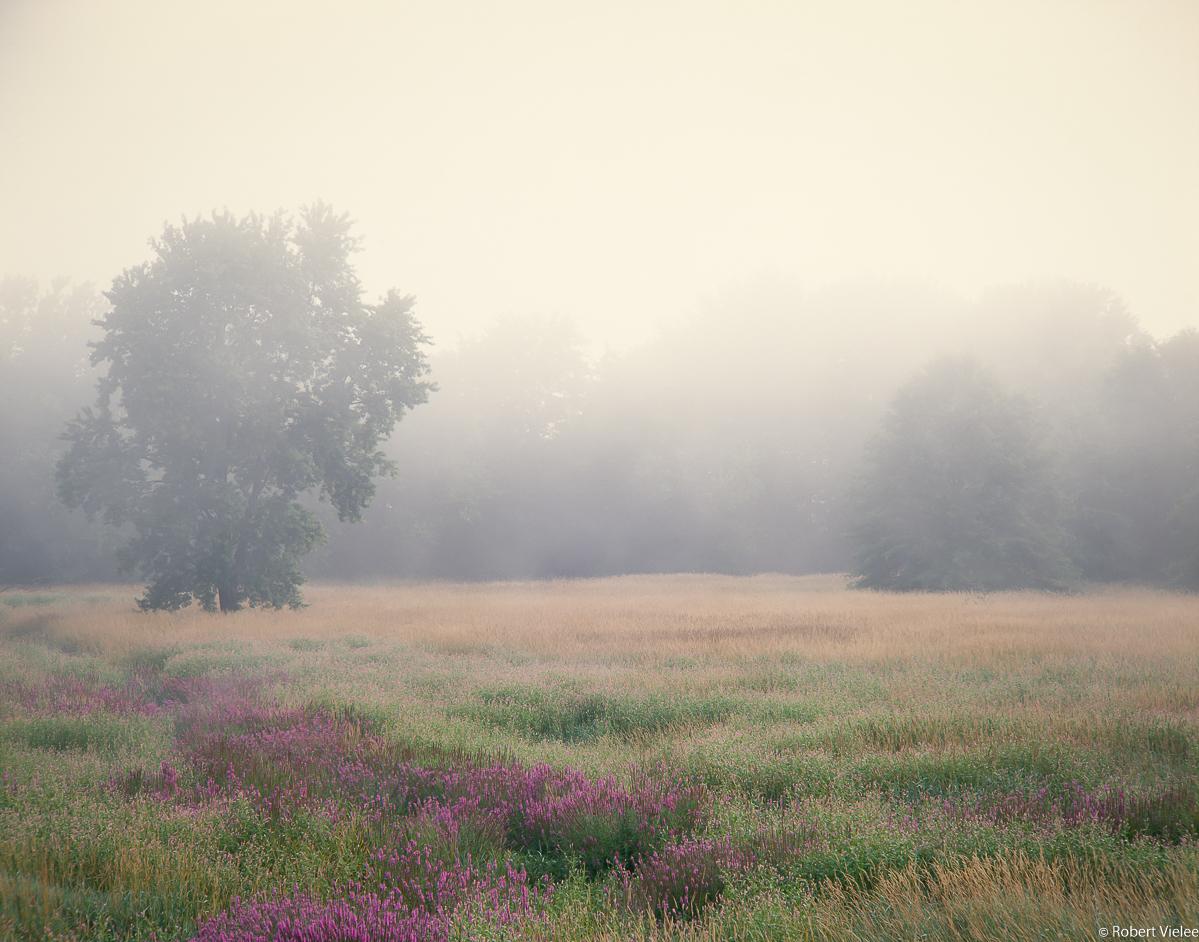 Loosestrife, Meadow, Lifting Fog