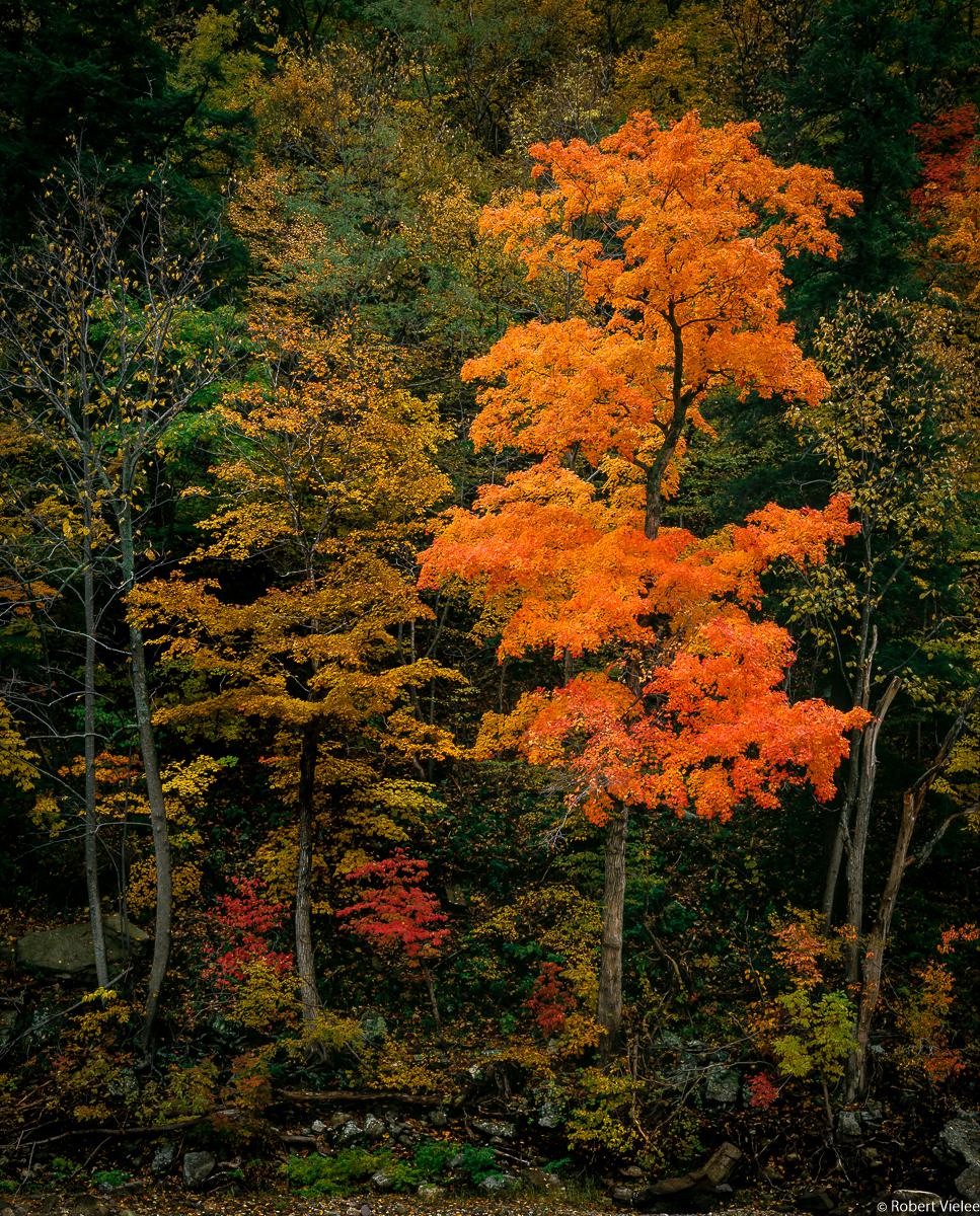 Sugar Maple, An Early Autumn