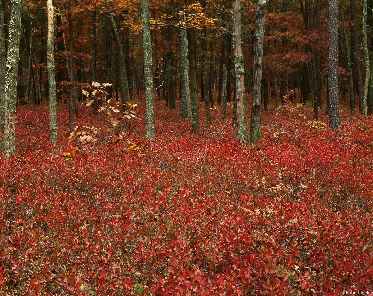 Inkberry Autumn