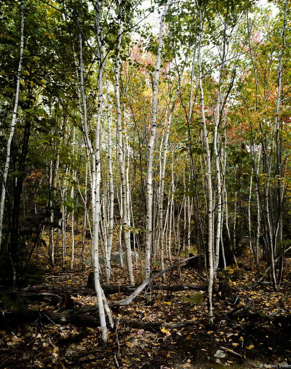White Birch Grove of Mt Desert Island