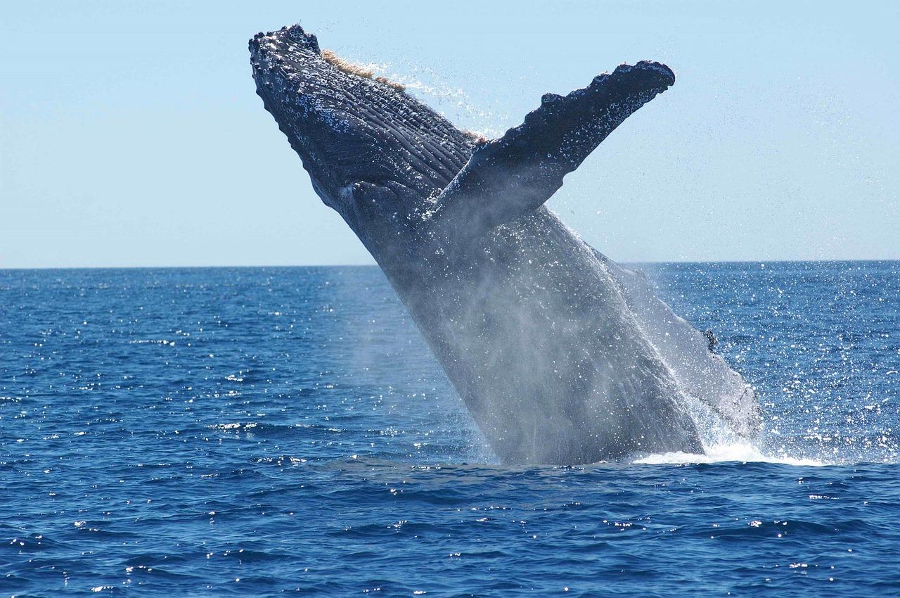 humpback-whale-1945416_1280.jpg