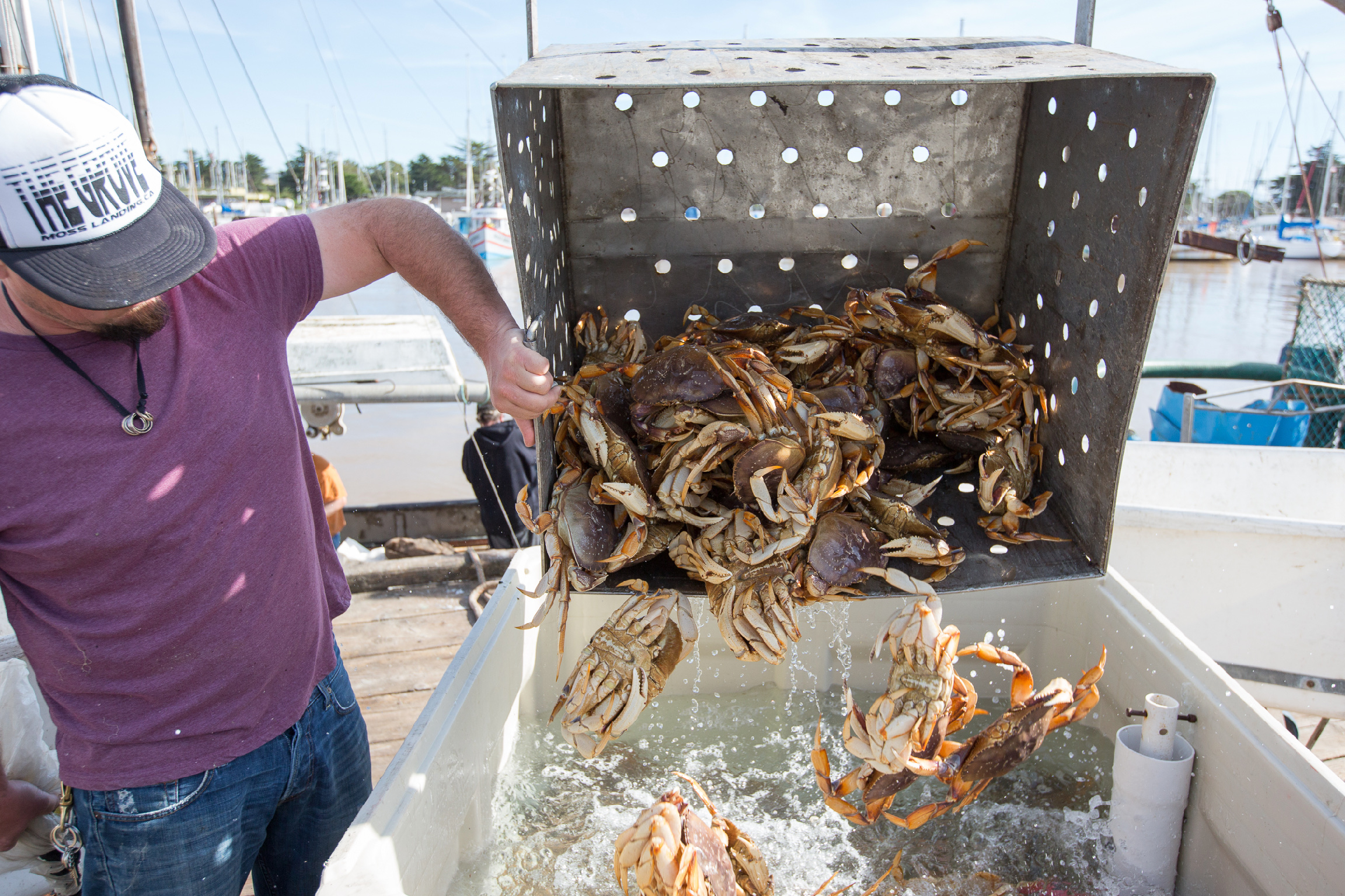 Fisherman  Jerid Rold  (F/V Deputy Dawg) unloading Dungeness crab.