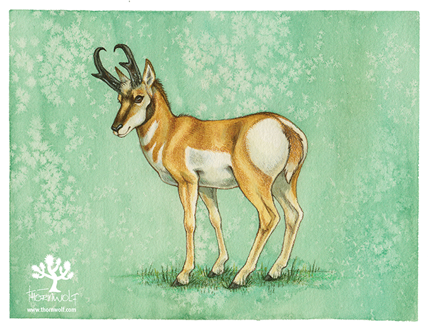 Male pronghorn antelope.