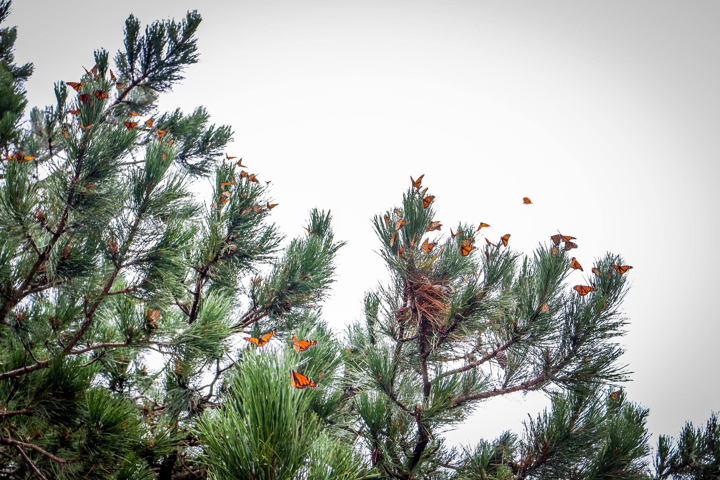 Hundreds of Monarch Butterflies