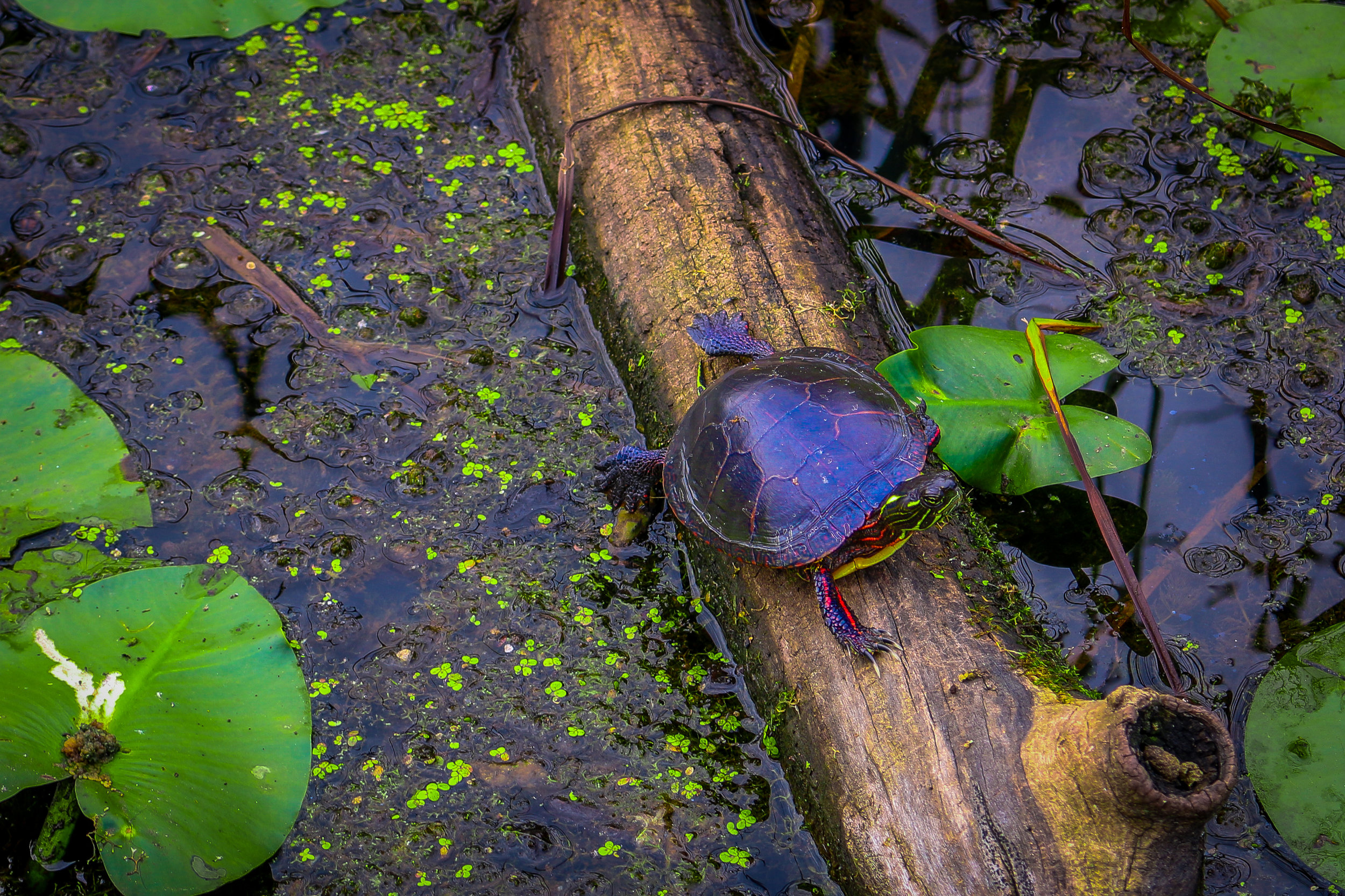 cuyahoga valley national park ohio oh nps turtle