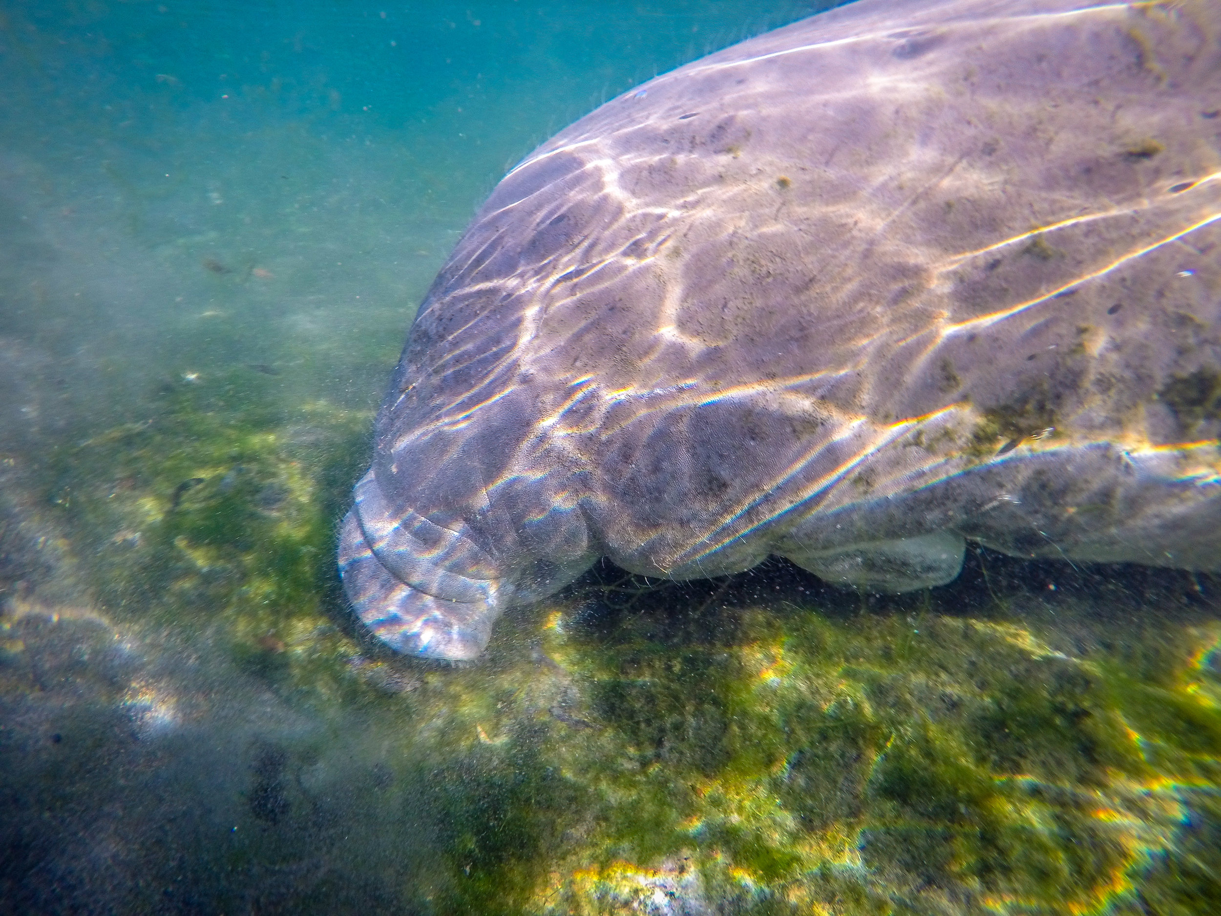 swimming with manatee crystal river florida fl