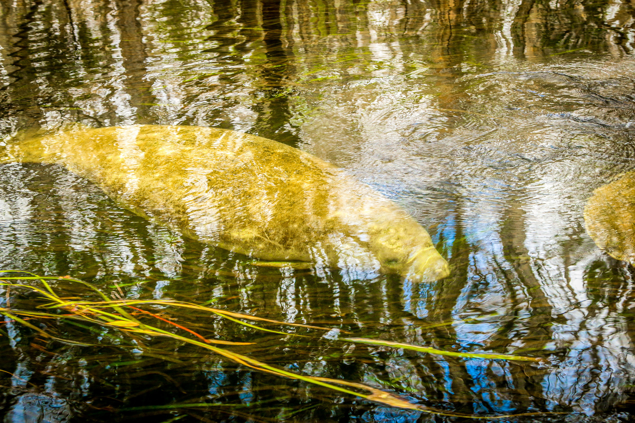 One Last Manatee at Wakulla Springs State Park