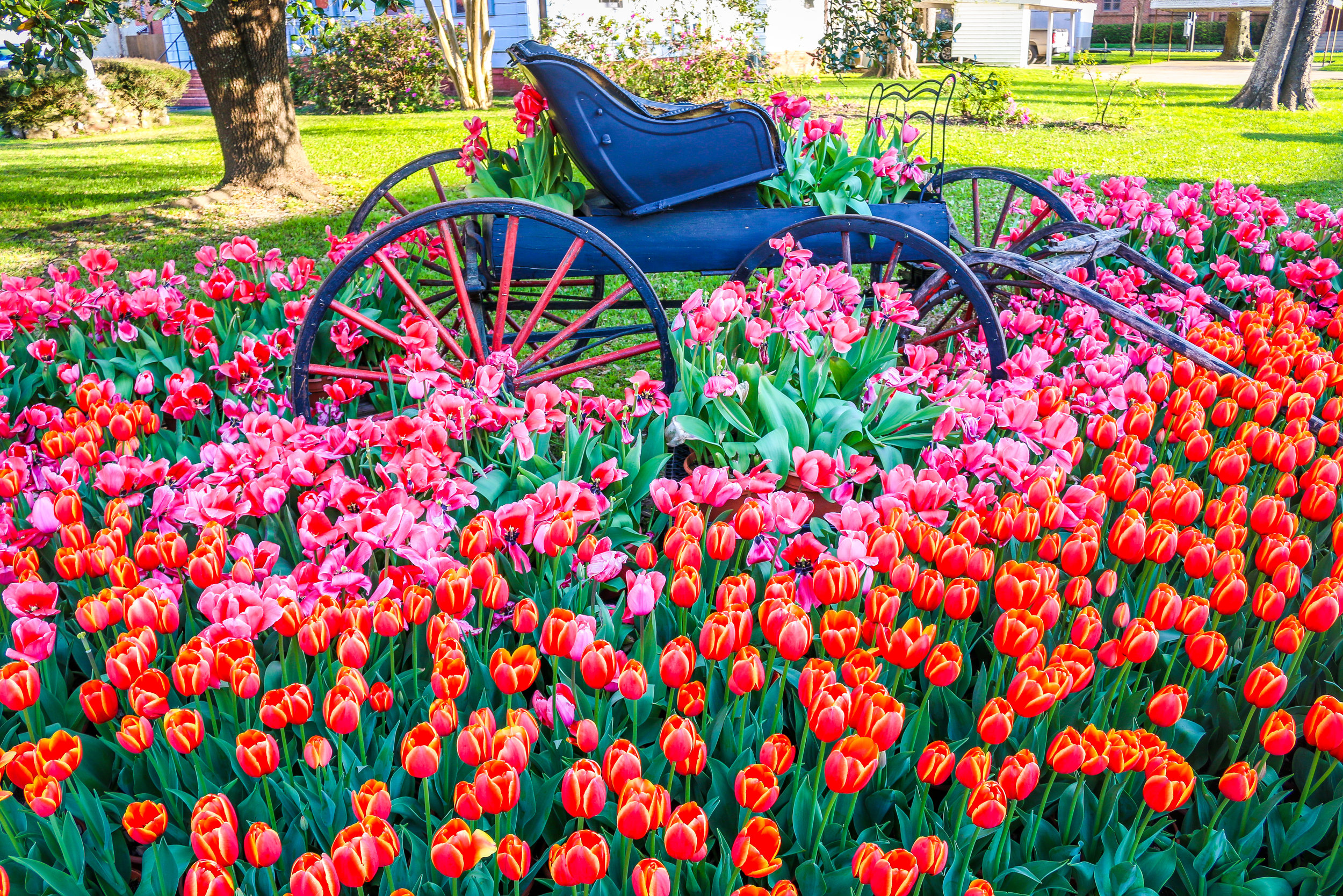 Spring Tulips in Natchitoches