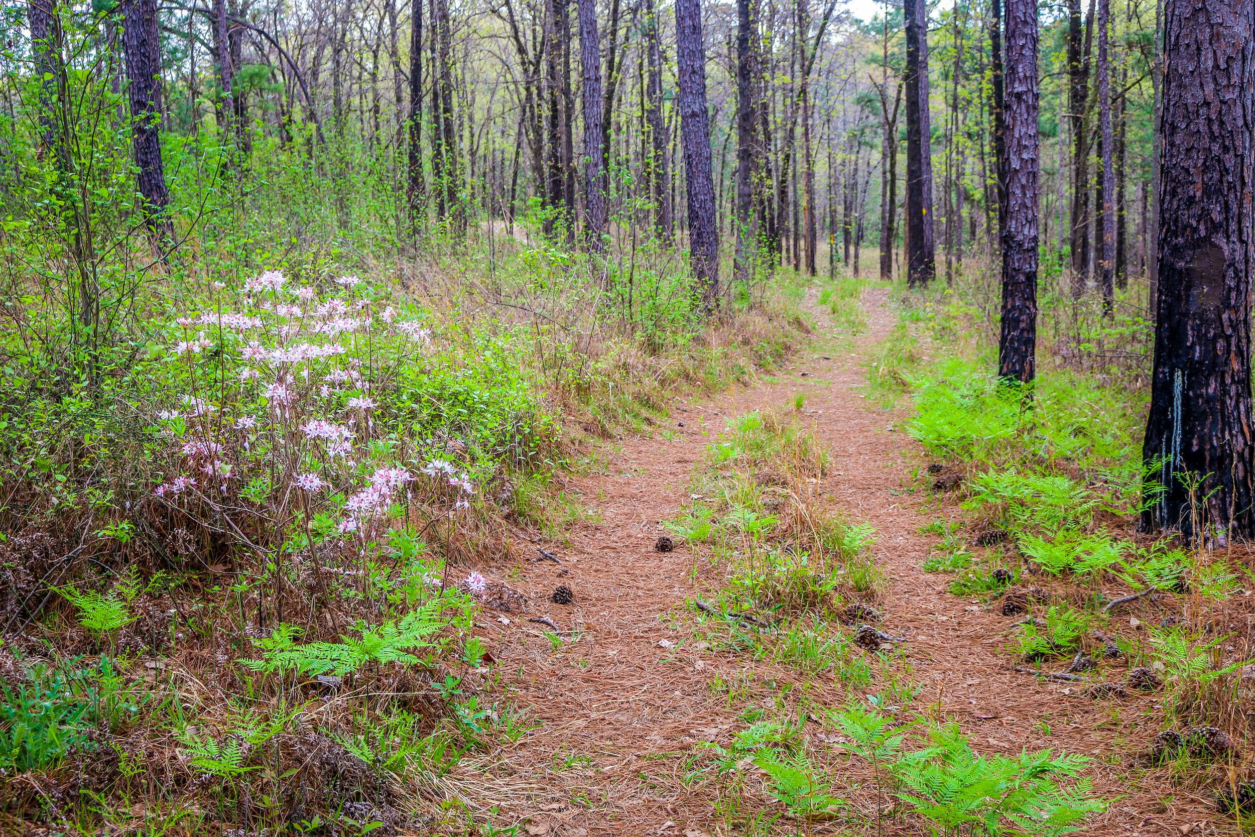 Wild Azalea Trail Kisatchie National Forest Alexandria Louisiana
