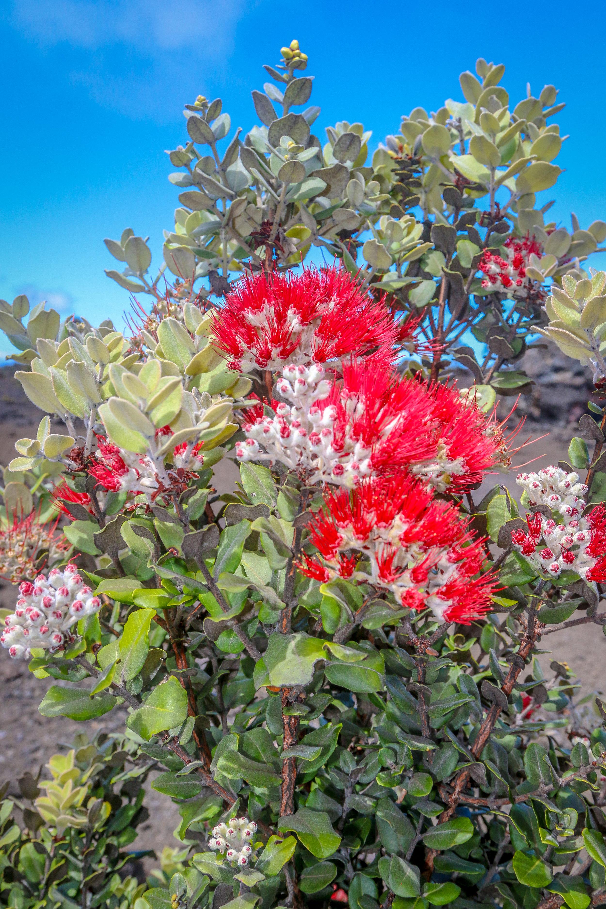 More Ohia Lehua Flowers! I Really Love These Flowers