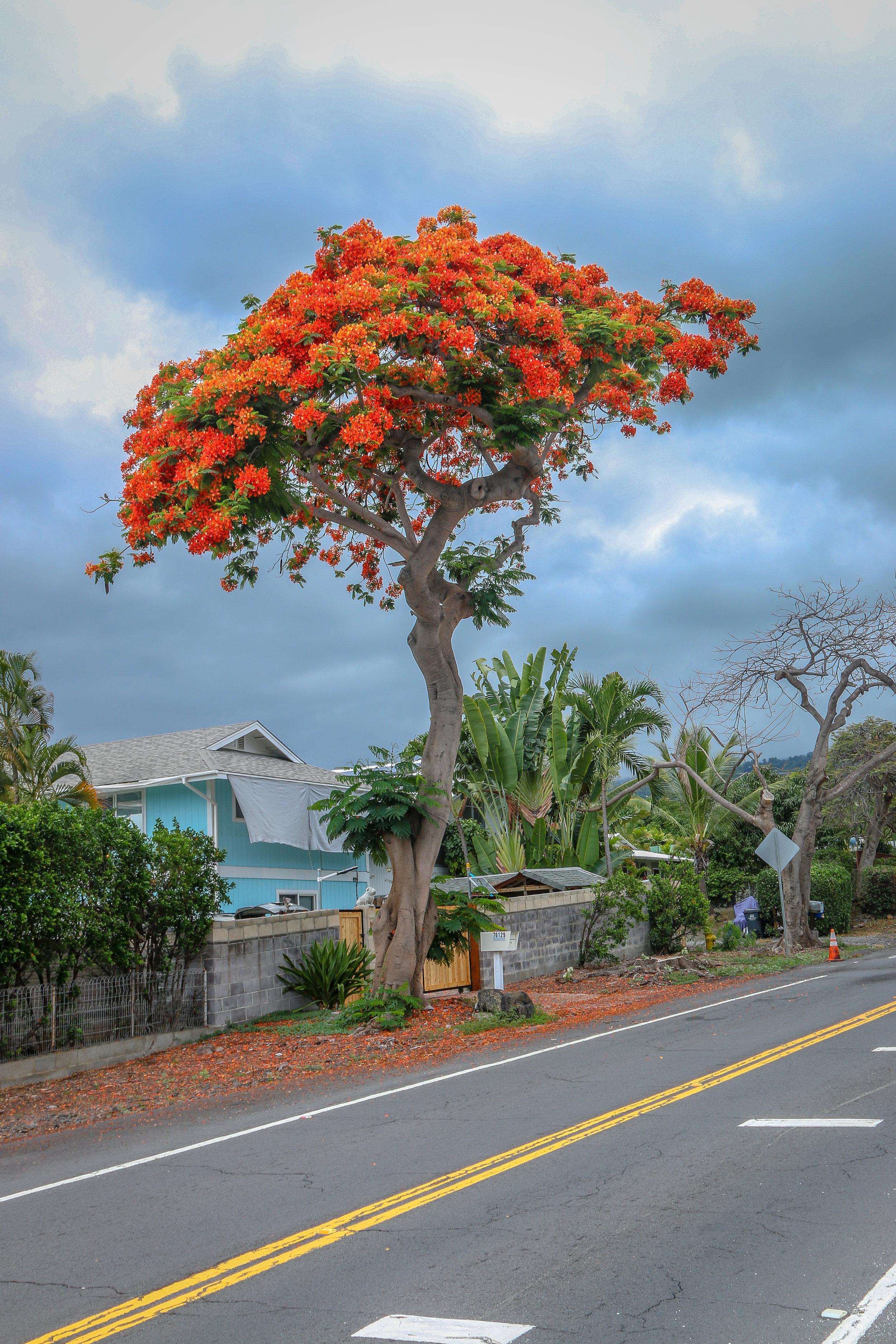 Hawaii HI Big Island Photos Photography flower orange tree
