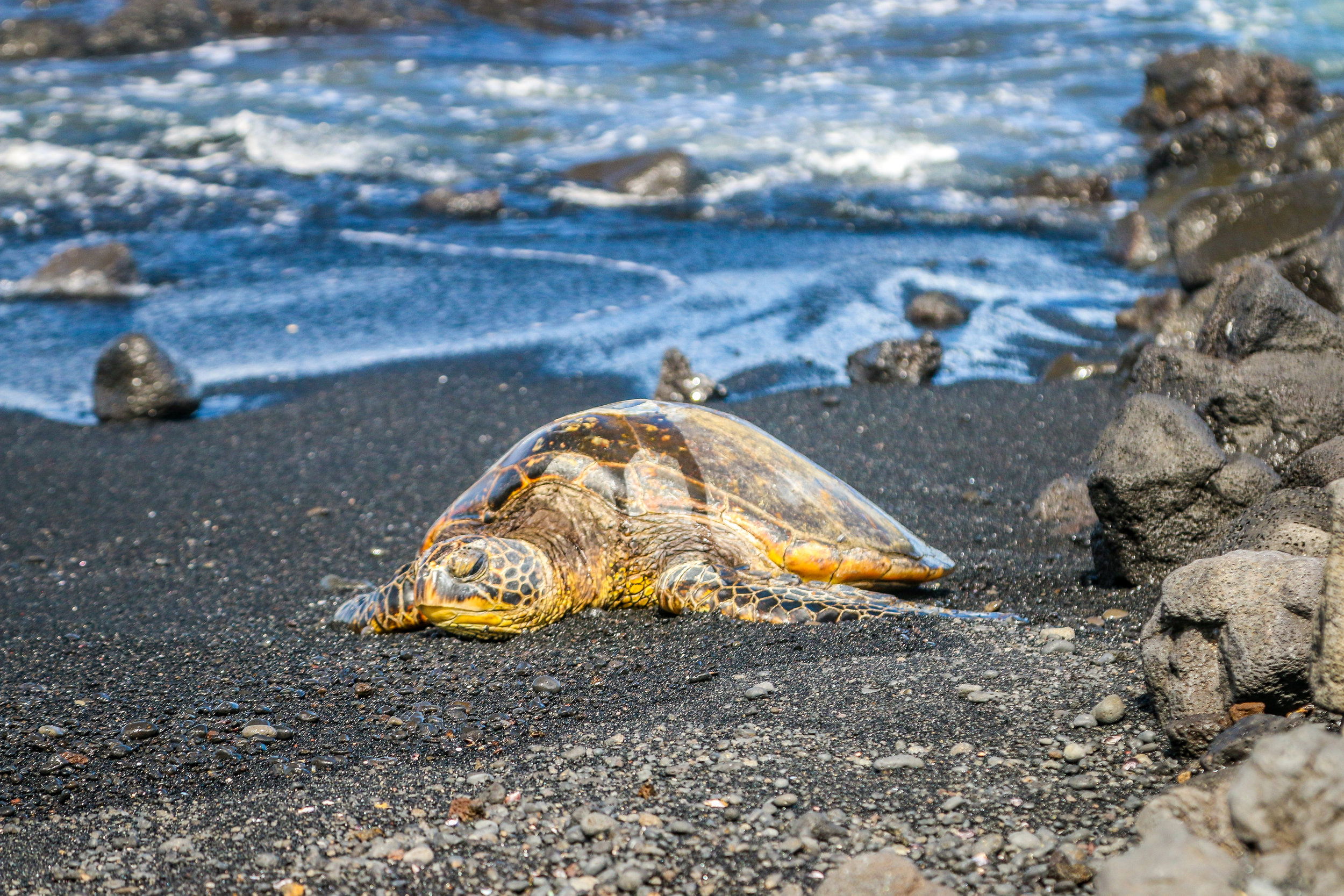 Hawaii HI Big Island Photos Photography honu green sea turtle black sand beach