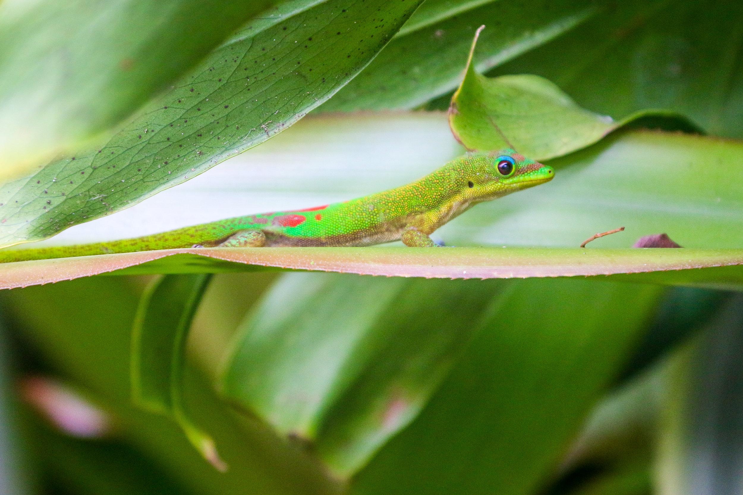 Hawaii HI Big Island Photos Photography colorful lizard