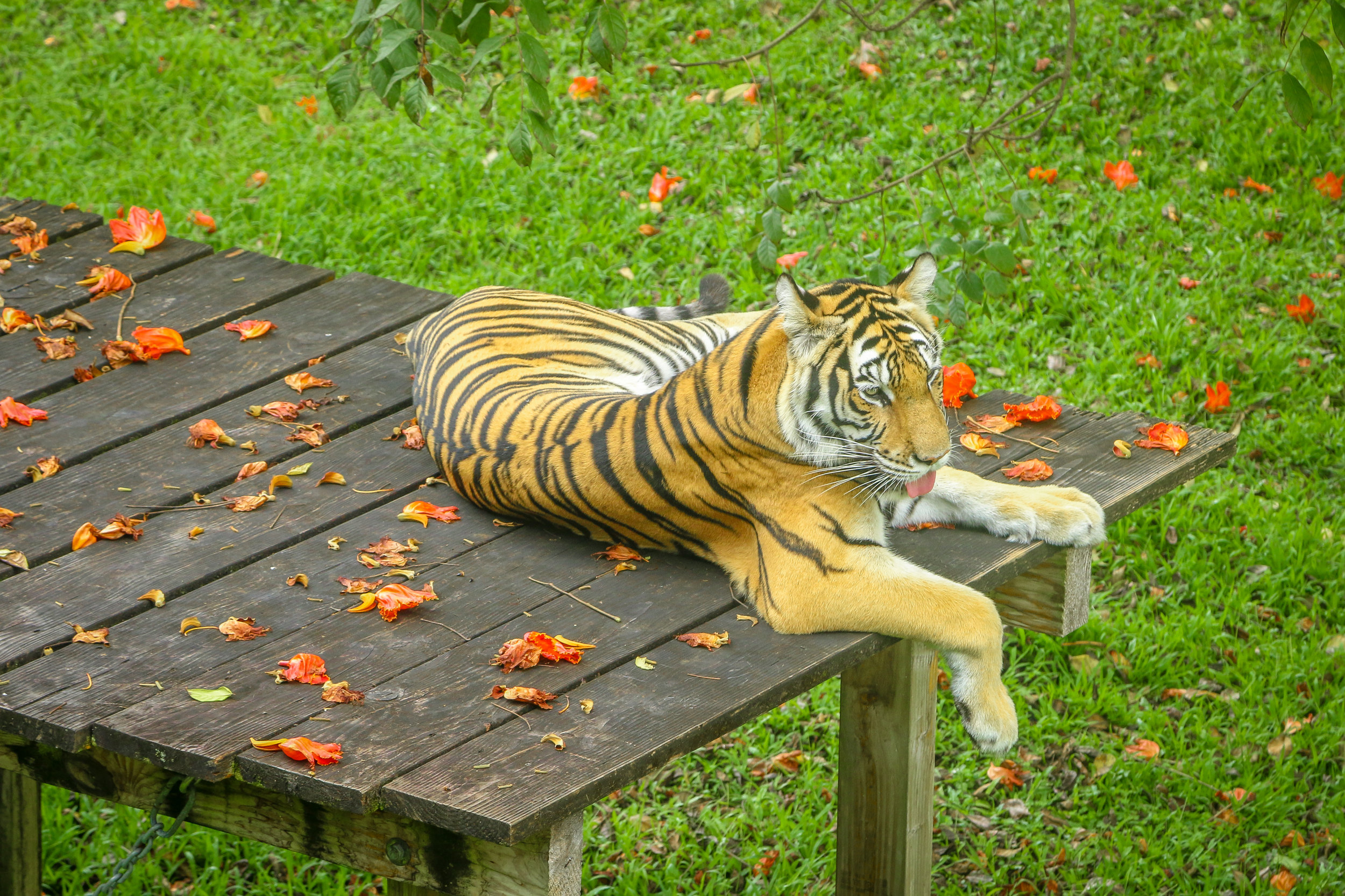 Hawaii HI Big Island Photos Photography tiger hilo