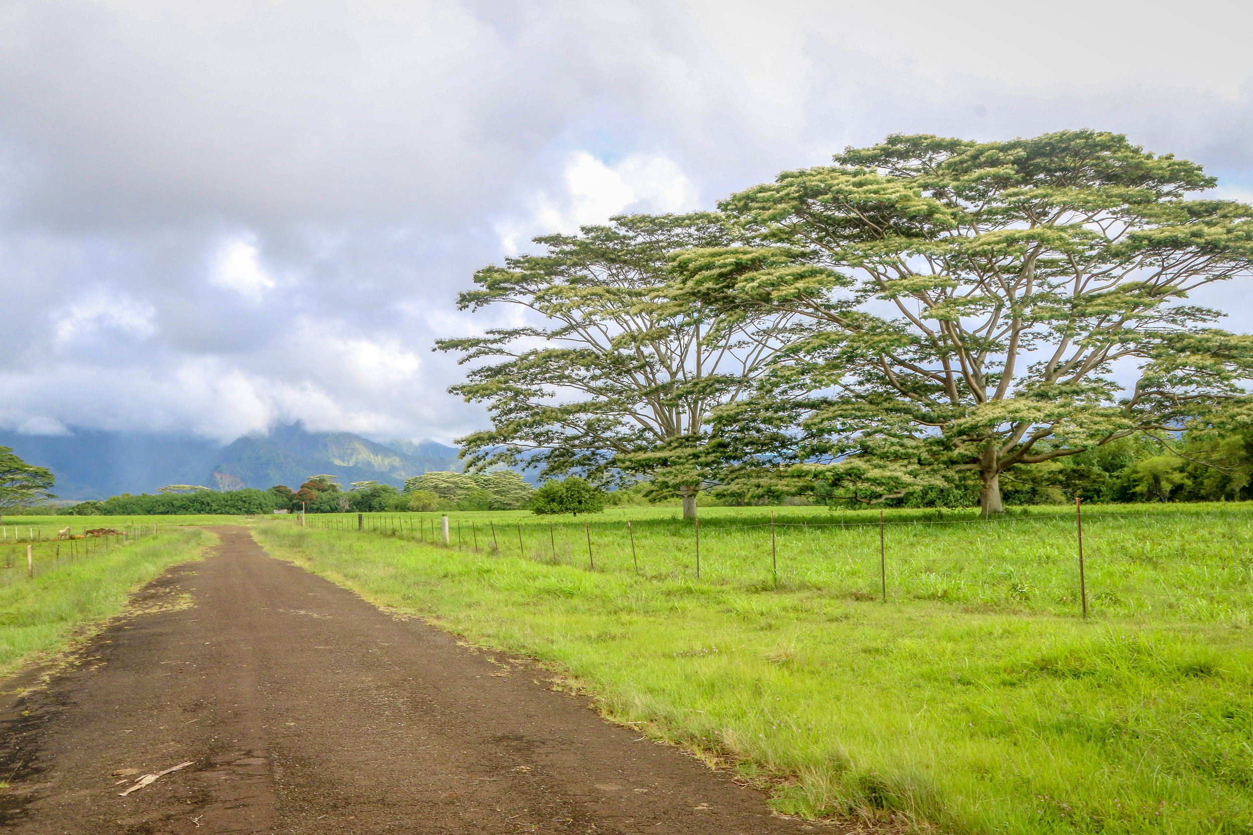 Kauai Hawaii HI photos photography dirt road monkey pod