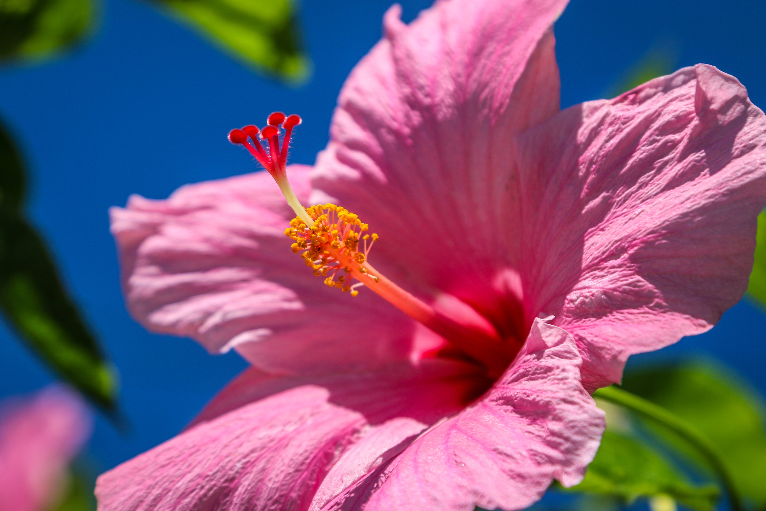 Kauai Hawaii HI photos photography pink flower hibiscus