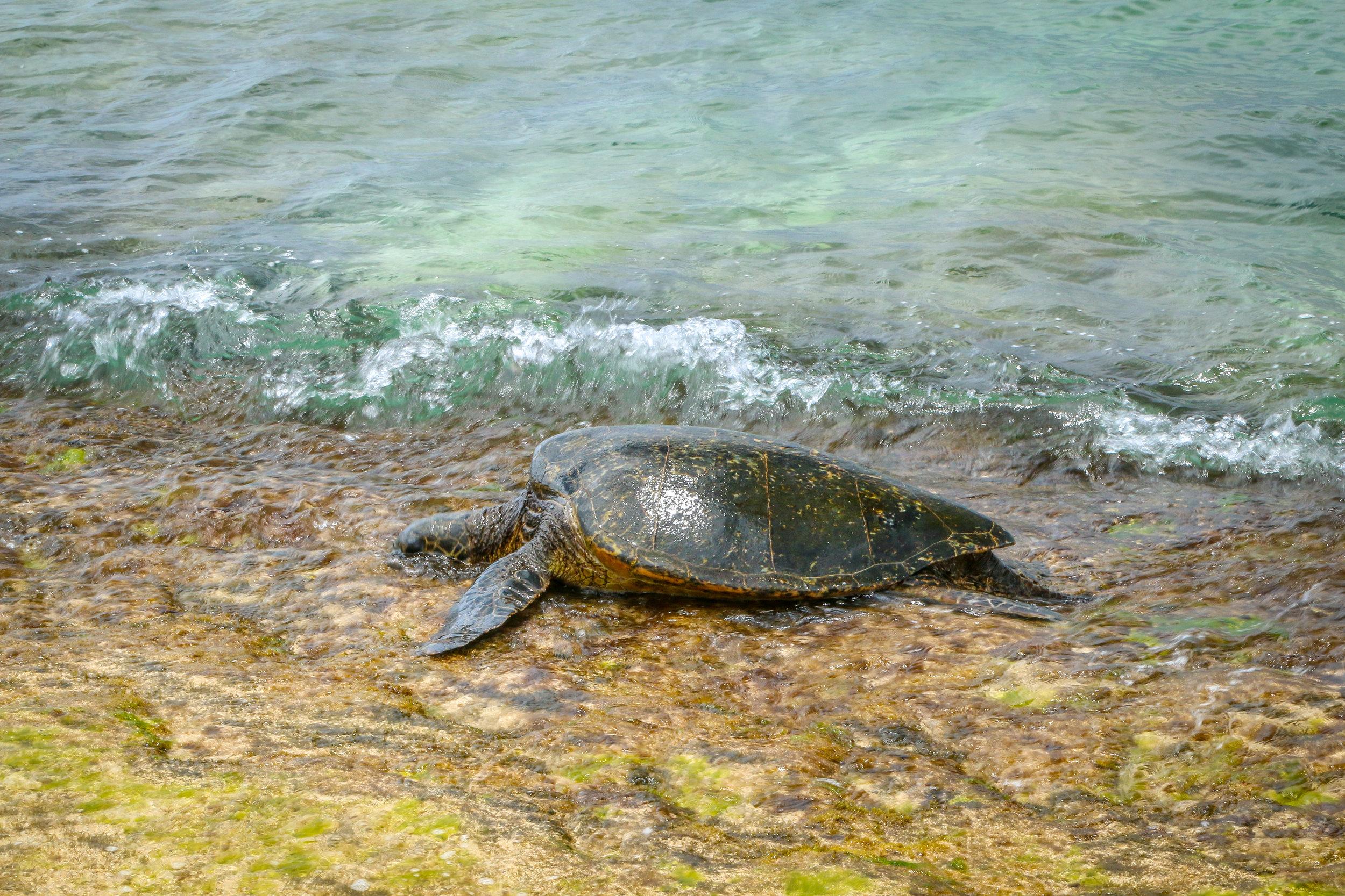 Oahu Hawaii HI photos photography sea turtle honu