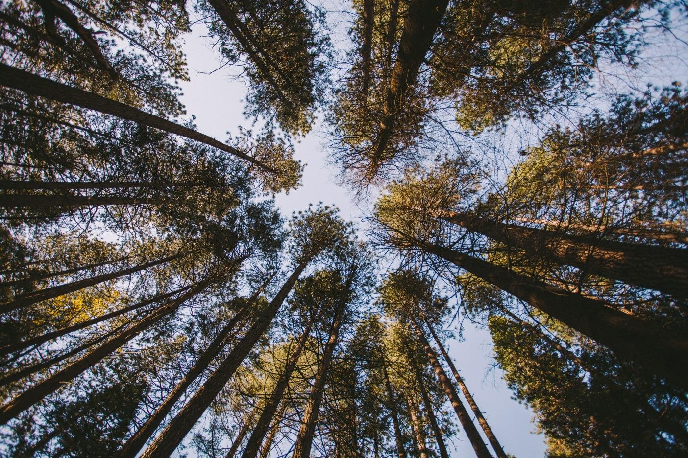 Ponderosa Pines in Yosemite