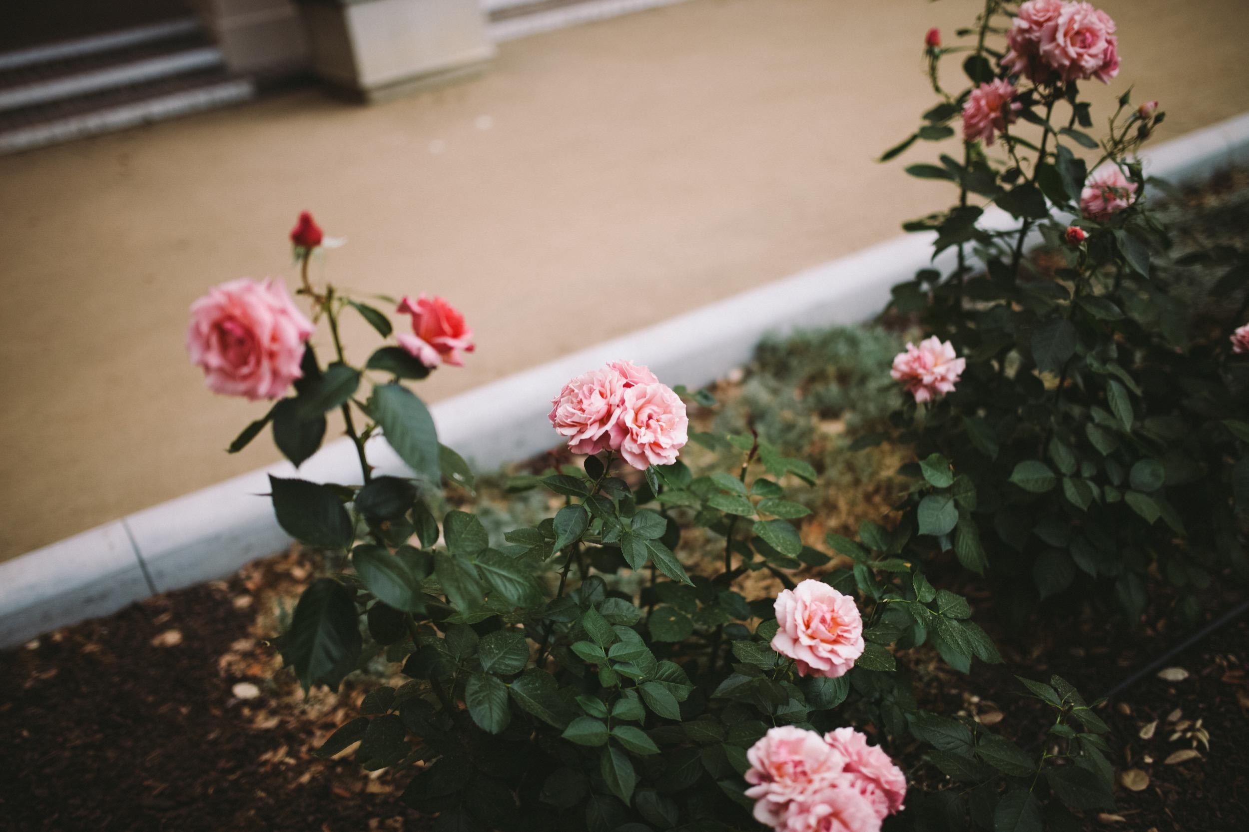 Pasadena City Hall Roses.jpg