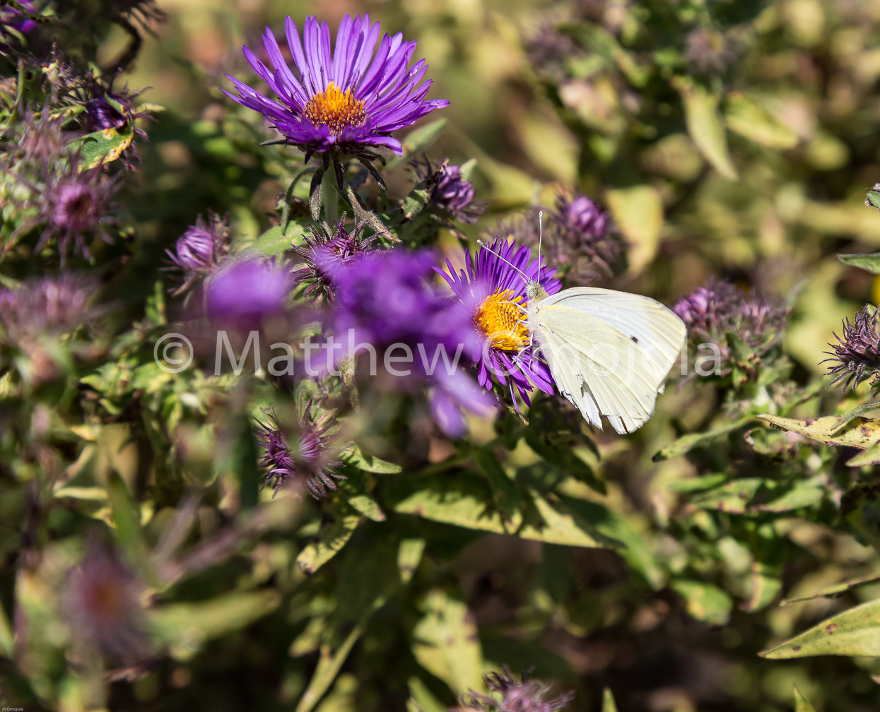 IMG_7586_Cabbage_White_butterfly_on_purple_zinnia.jpg