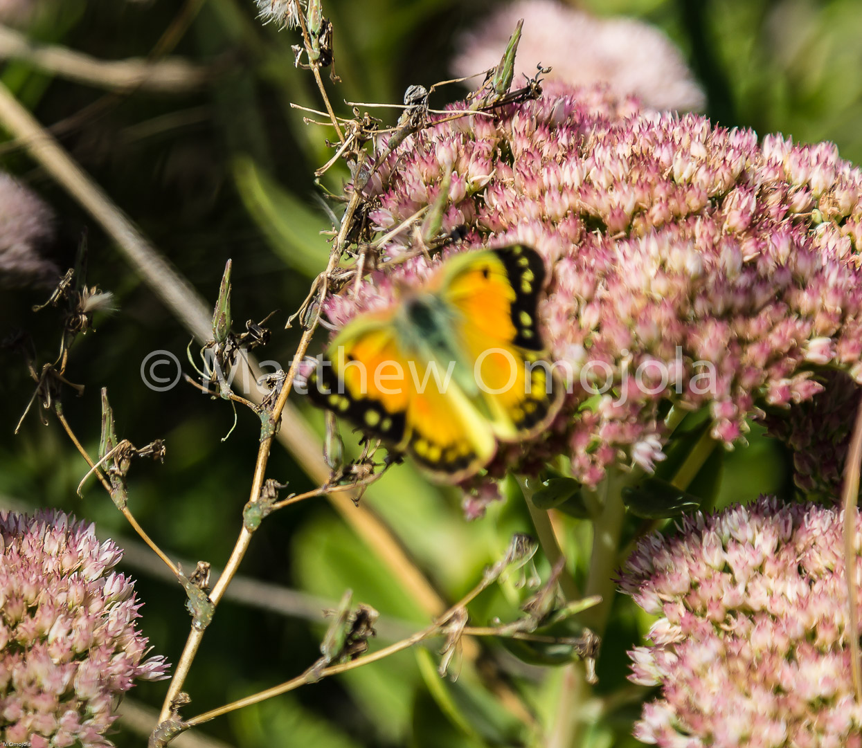 IMG_7822_Yellow_butterfly_on_sedum.jpg