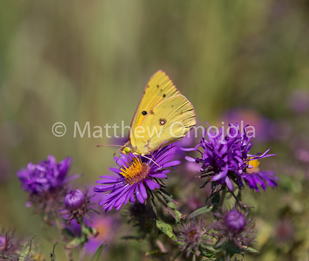 IMG_7843_Clouded_yellow_butterfly_on_purple_Zinnia.jpg
