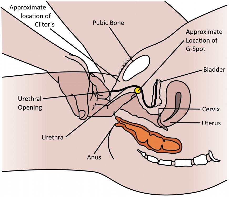 female-anatomy-g-spot-human-anatomy2.jpg