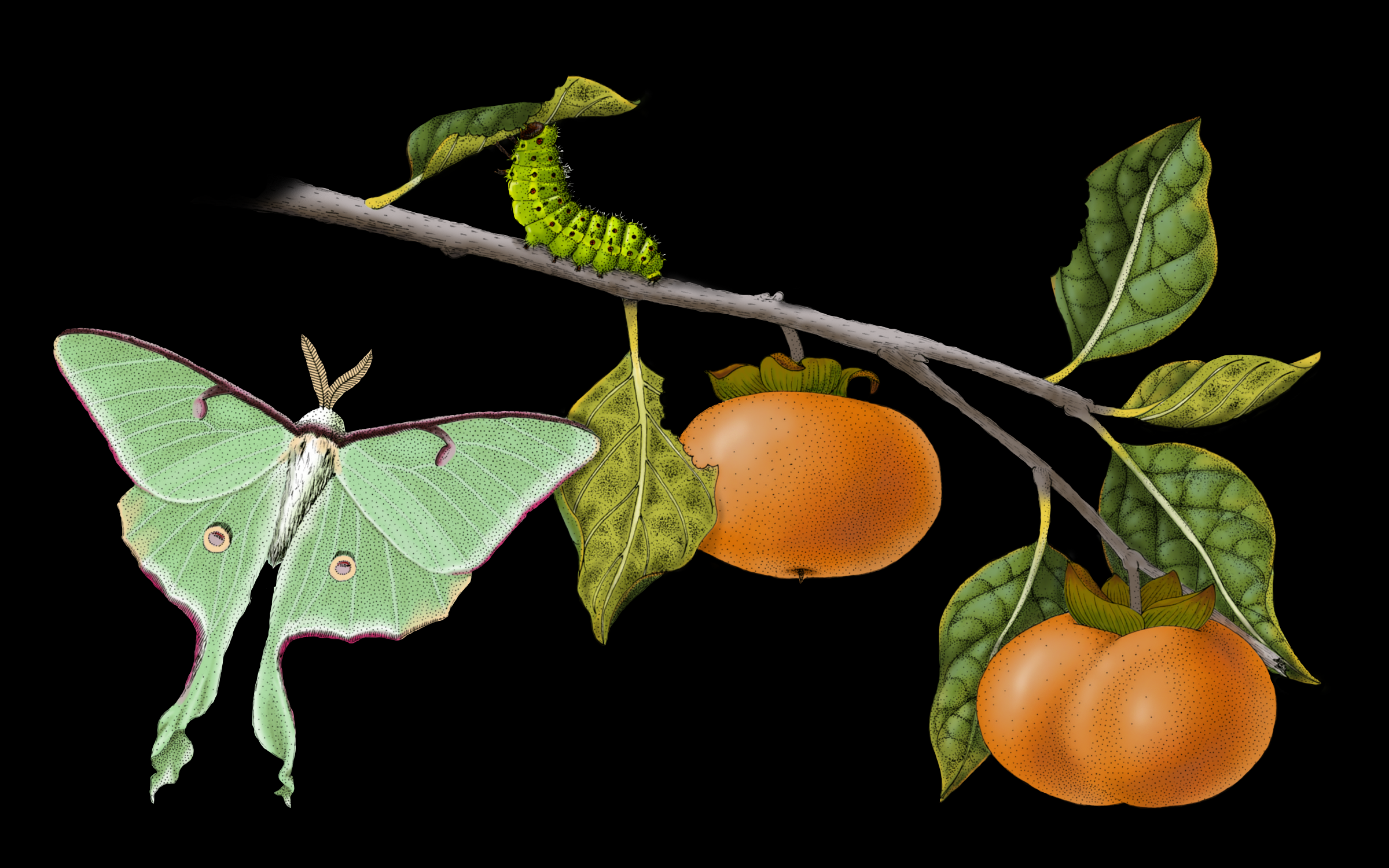 Luna Moth and Persimmons