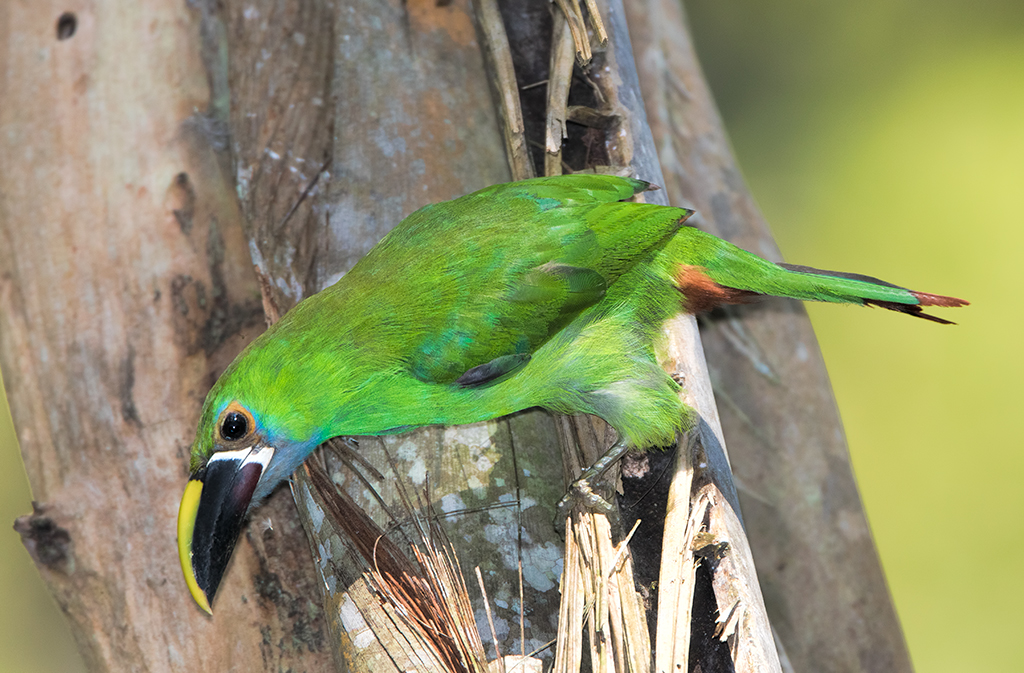 emerald-toucanet-001.jpg