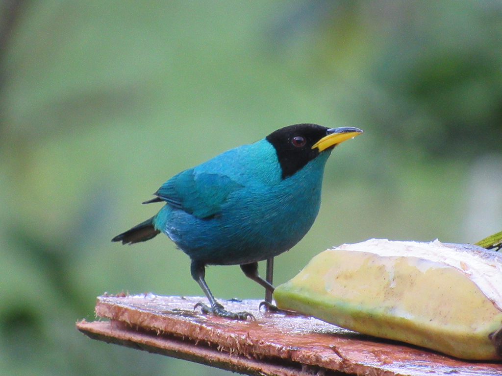 green-honeycreeper-.jpg
