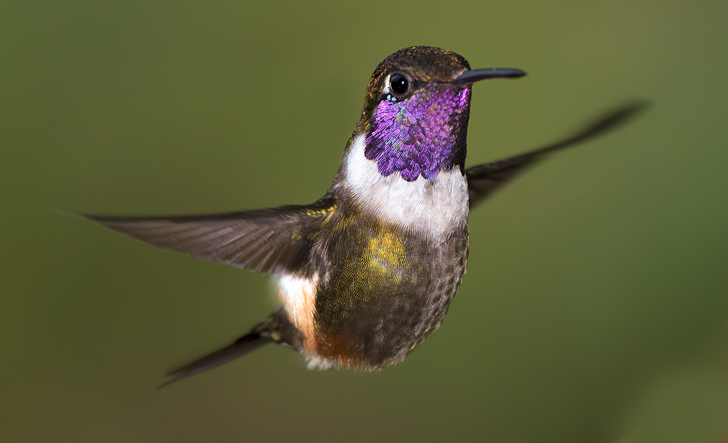 purple-throated-woodstar-067.jpg