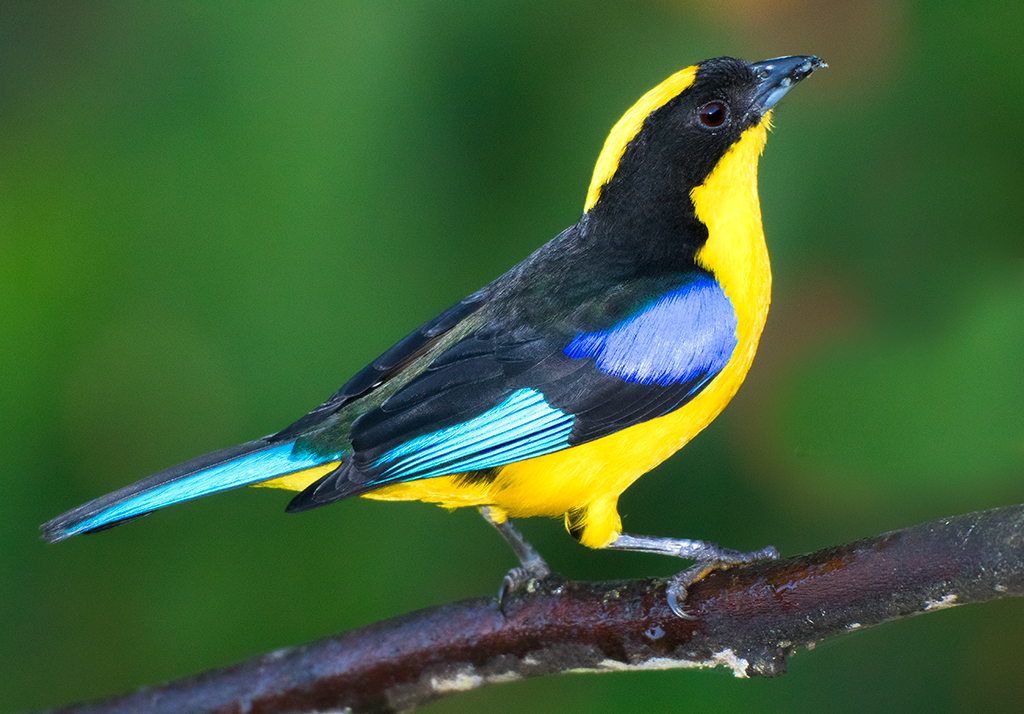 blue-winged-mountain-tanager-005.jpg