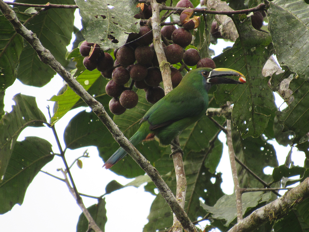 emerald-toucanet.jpg