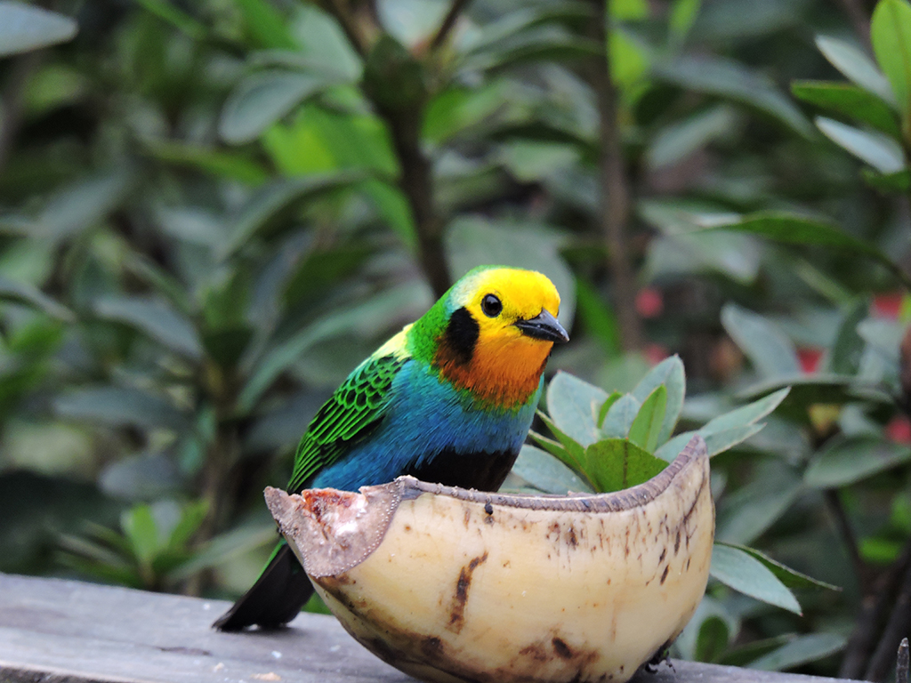 Multicolor-tanager-(Chlorochrysa-nitidissima)_1.jpg