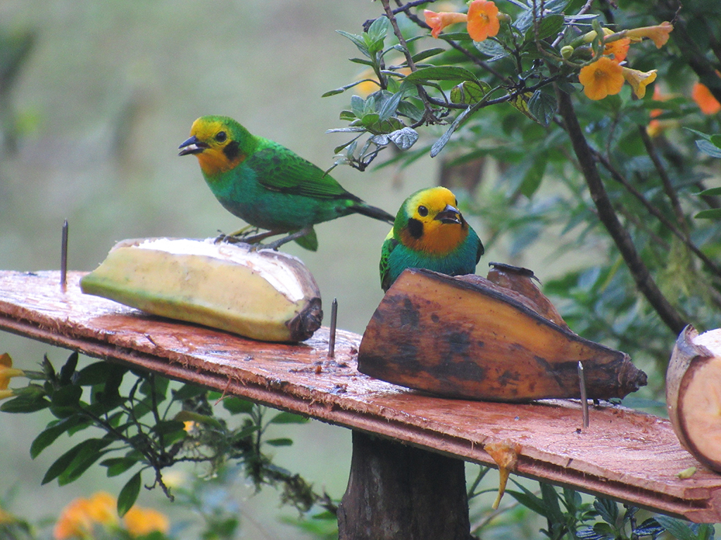 Multicolor-tanager_(Chlorochrysa-nitidissima)_couple.jpg