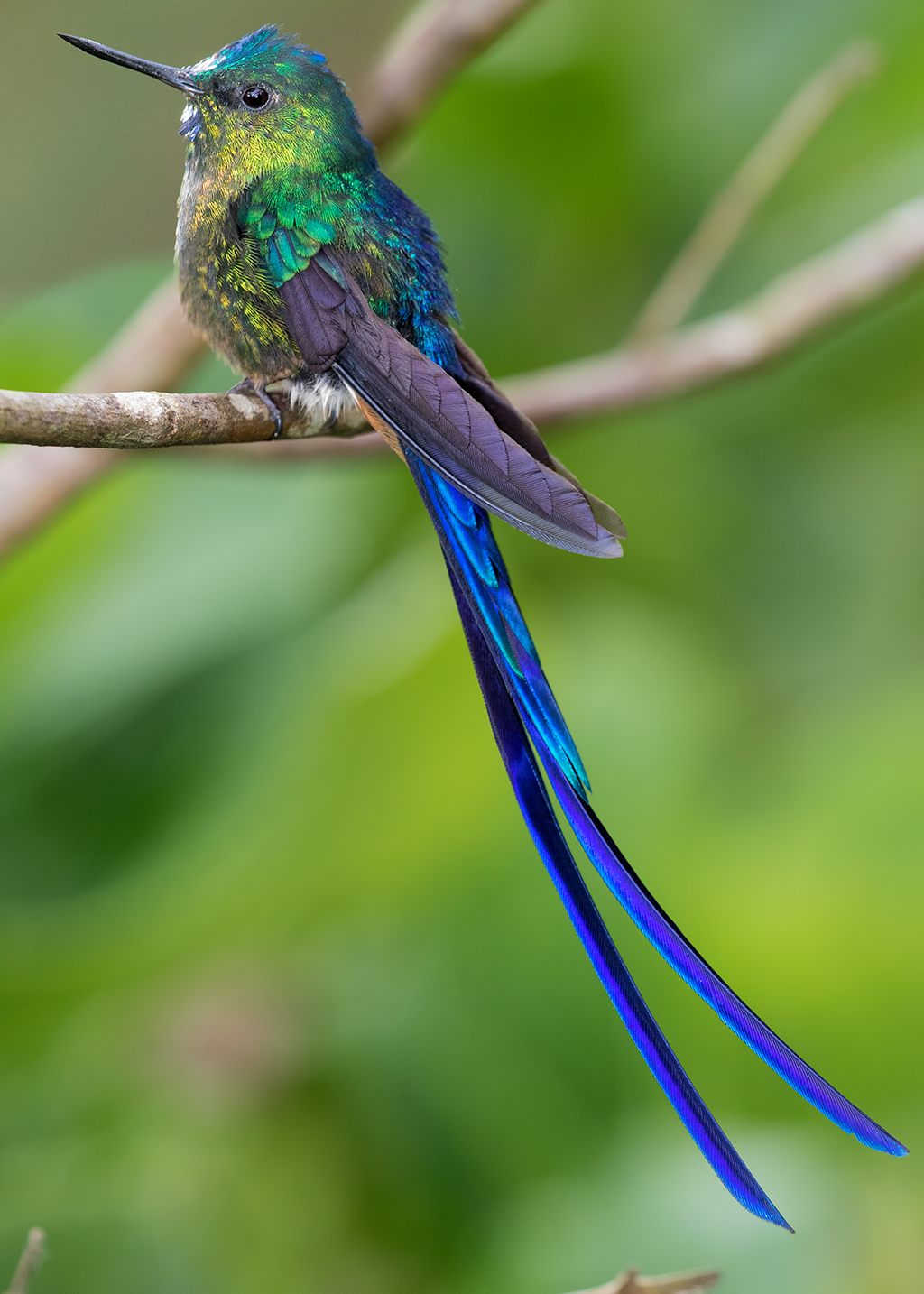 violet-tailed-sylph-063.jpg