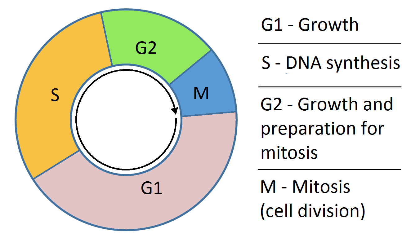 Cell Cycle.png