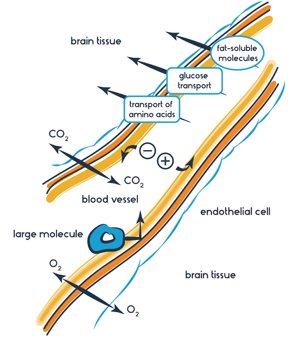 This diagram demonstrates how the blood brain barrier allows for selective transport of molecules. Some molecules move using channels and transporters and others are small enough to slip through the tight cell-to-cell adhesions that prevent large molecules and certain cells from crossing from the blood into the brain.