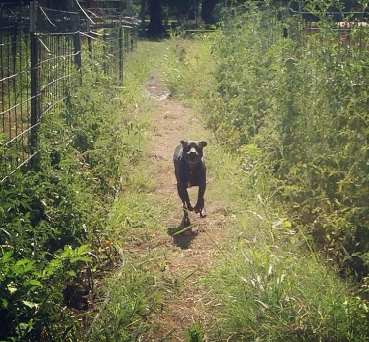 Allegra the farm dog running through rows of tomatoes staked with cattle panel.