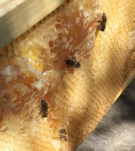 Bees cleaning up an old honey frame.