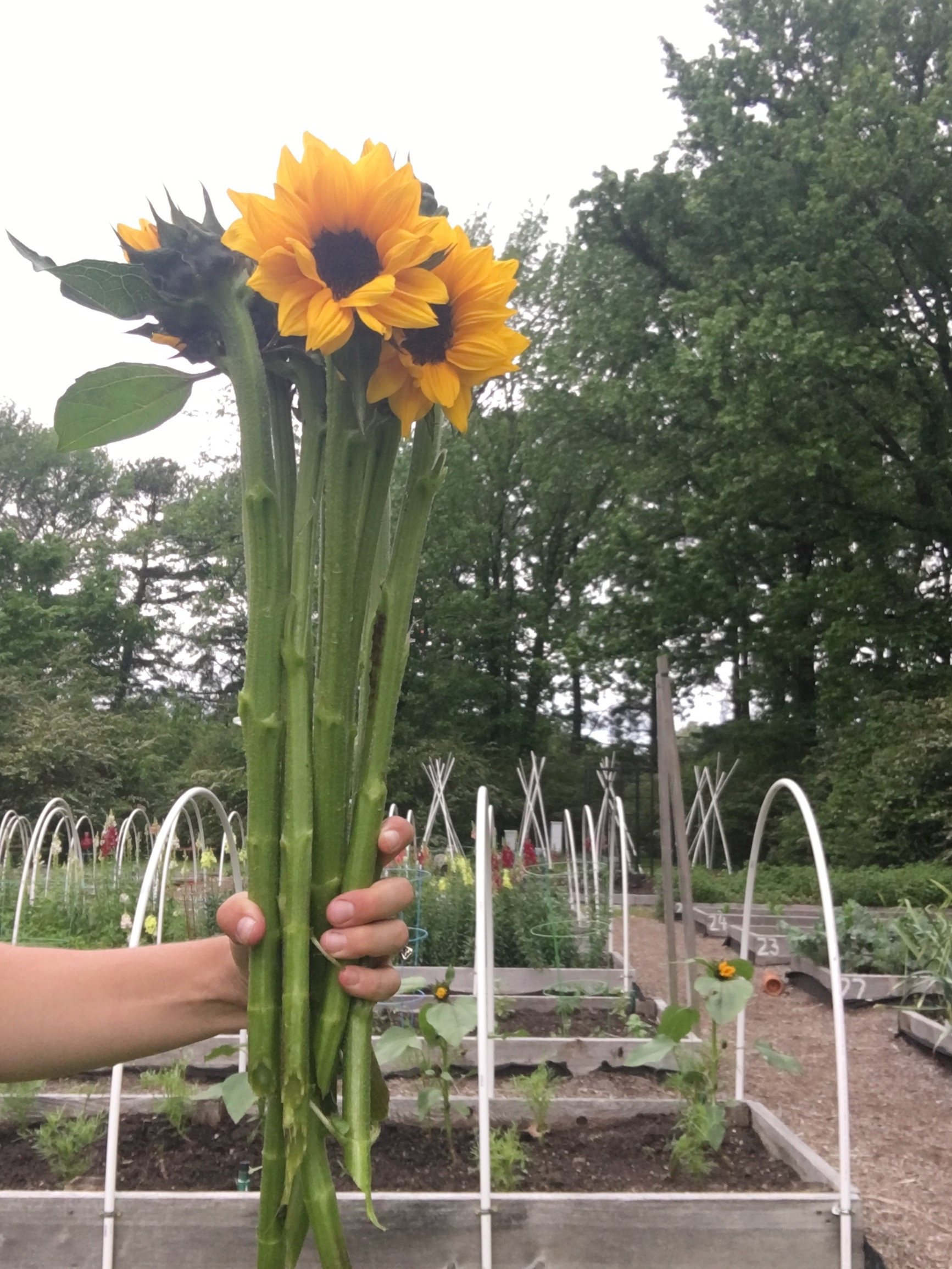 Sunflowers harvested from the interplanted bed (pictured behind) of cosmos.